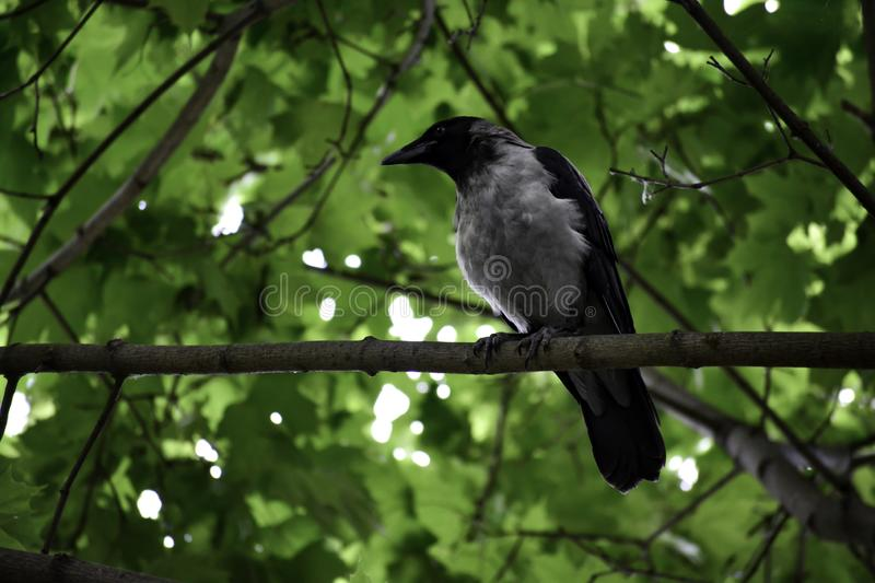 The hooded crown (corvus cornix) sits on a branch and looks around stock photos