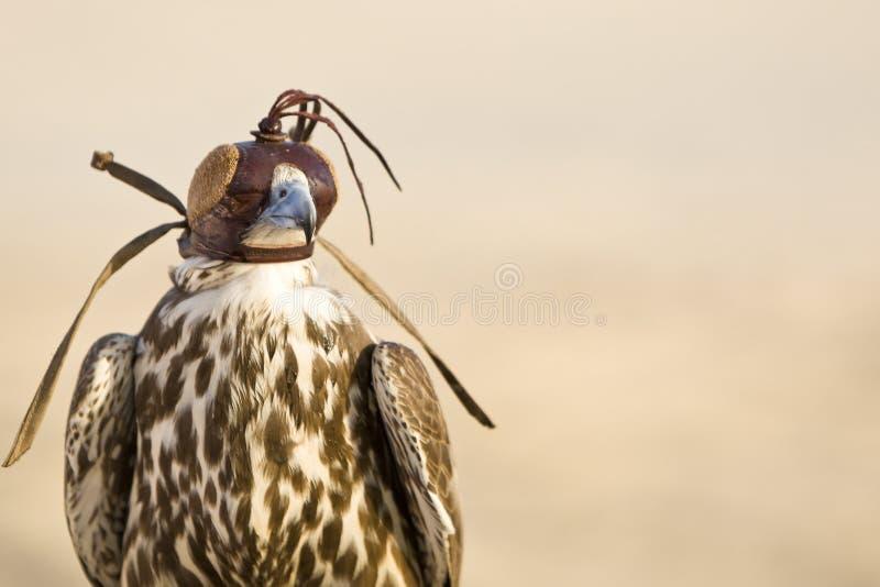 Hooded Falcon stock photos