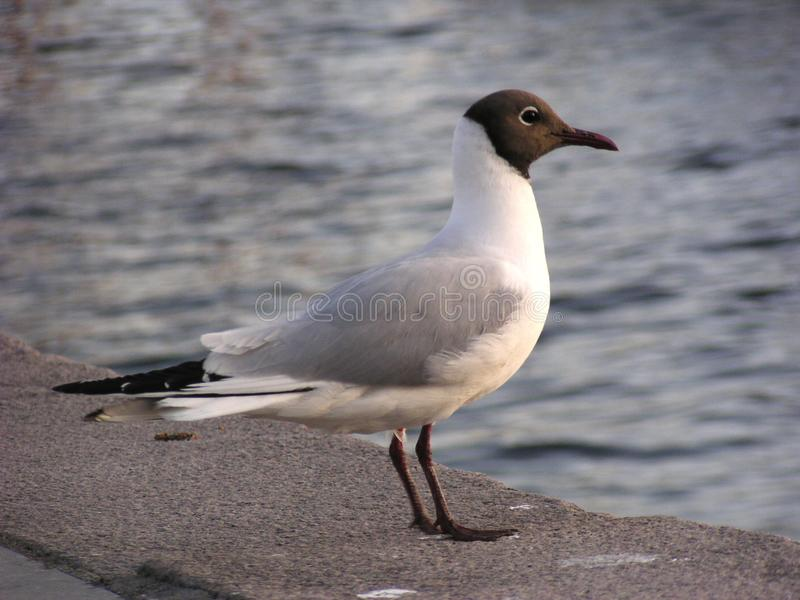 Download Hooded Gull (Norway) stock photo. Image of side, seagull - 10512