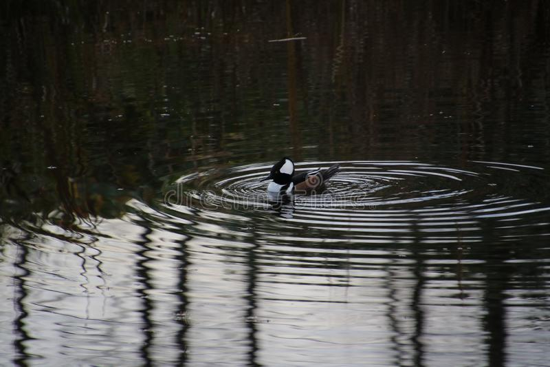 A hooded merganser duck royalty free stock photos