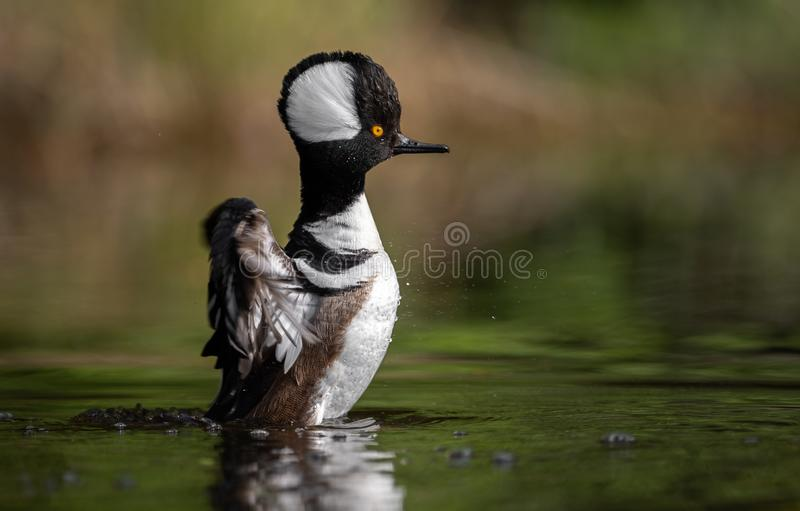 Hooded Merganser Duck Swimming in the Water royalty free stock photo