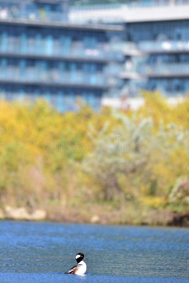 Free Hooded Merganser In A Condo Stock Photography - 162066352