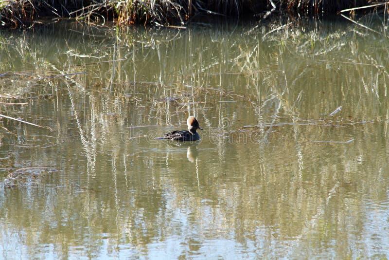 Hooded merganser swimming on a river stock images