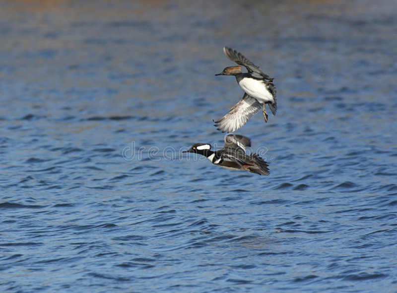Download Hooded Mergansers Royalty Free Stock Images - Image: 3872979