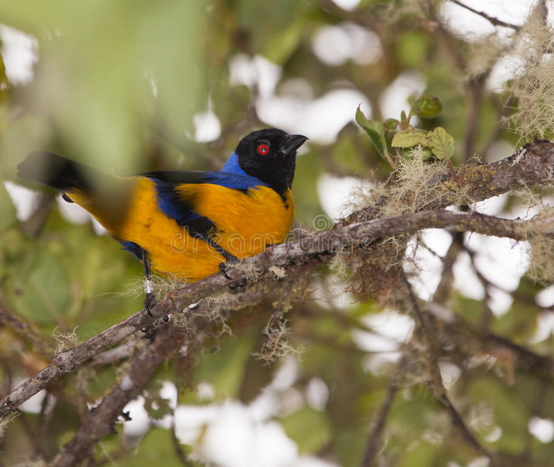 Download The Hooded Mountain Tanager Stock Image - Image of inks, blue: 19862053