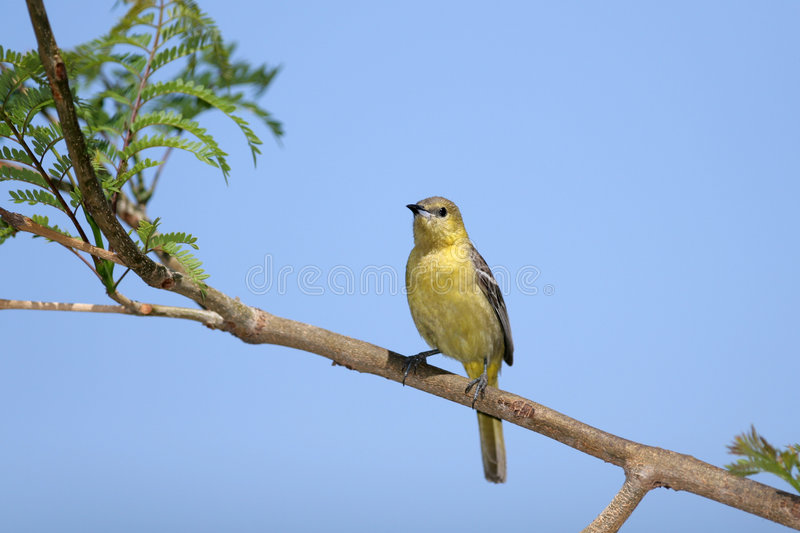 Download Hooded Oriole stock image. Image of nature, branch, female - 4872549