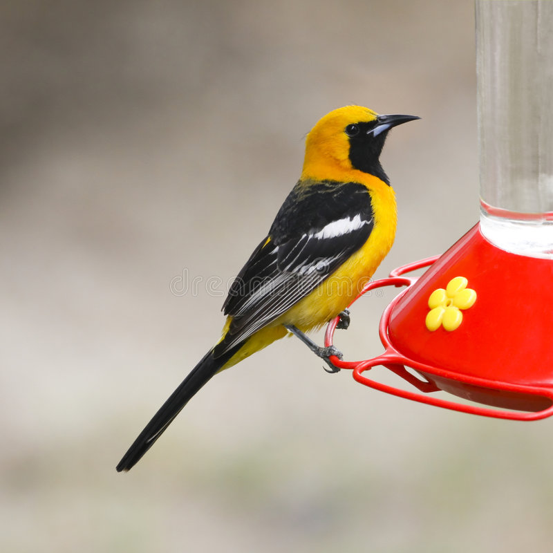 Free Hooded Oriole Stock Image - 5604621