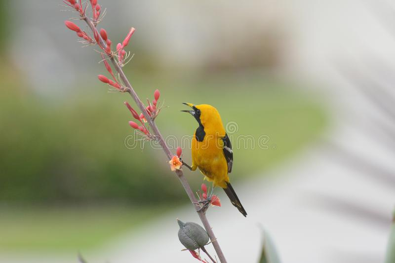 A Hooded Oriole perched on the flower stem of a Red Yucca plant royalty free stock photography