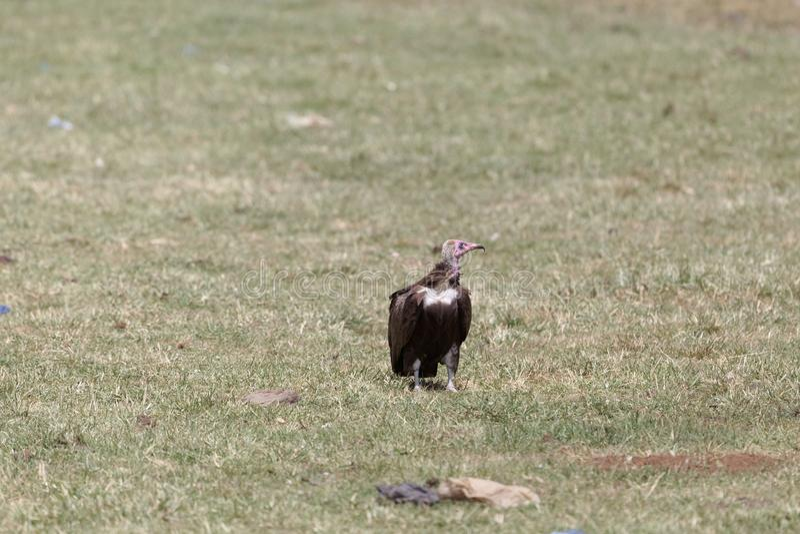 Hooded Vulture Necrosyrtes monachus. On grassland in Ethiopia stock photo