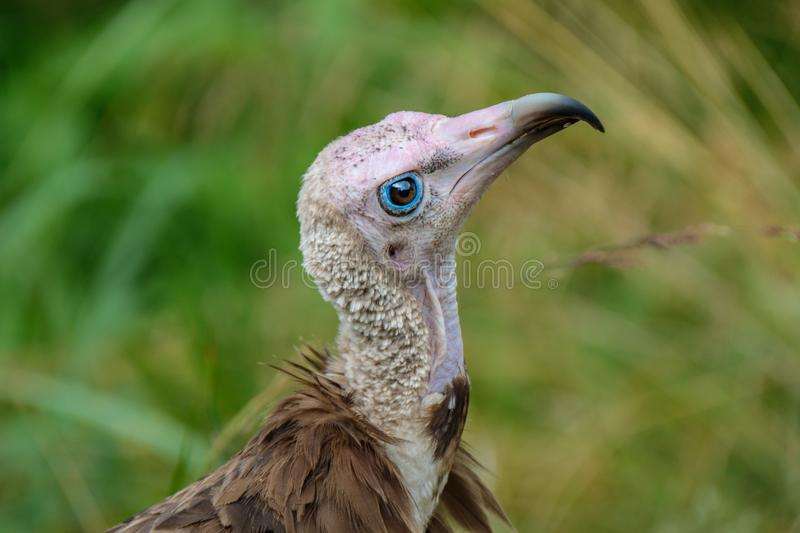Hooded vulture looks up curiously. Hooded Vulture, the old world vulture, in the Rotterdam Zoo Blijdorp Zoo, the Netherlands stock photography