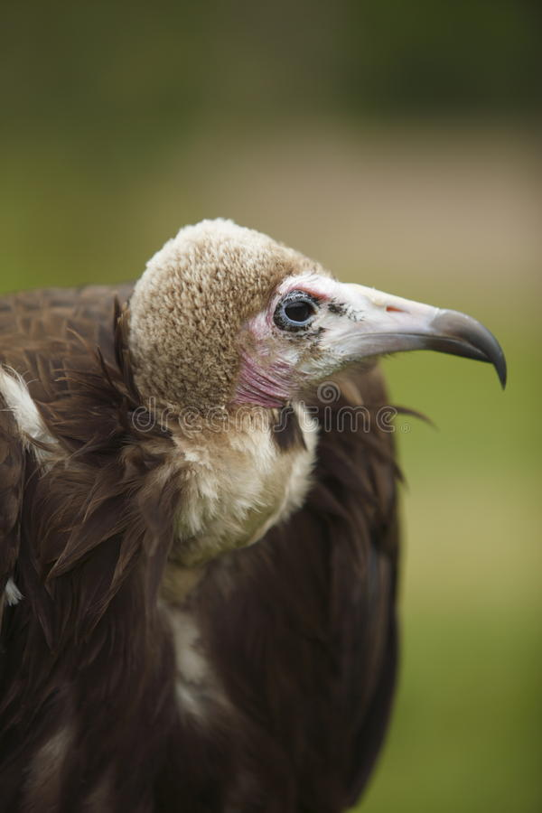 Free Hooded Vulture Profile And Close-up Shot Stock Photo - 14515320