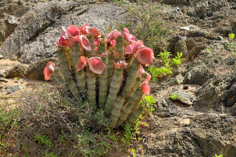 Hoodia in der Blume lizenzfreie stockfotos