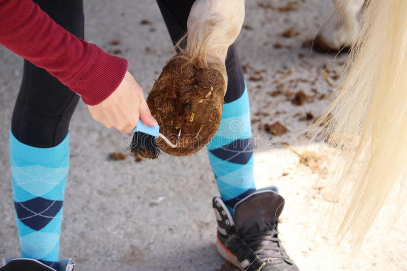 Hoof care of a white horse before being mounted stock images