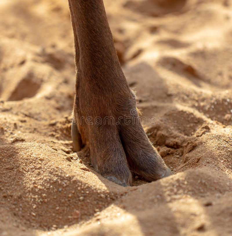 Hoof deer on the sand royalty free stock images