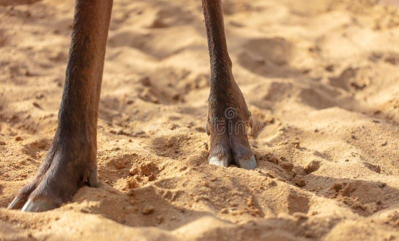 Hoof deer on the sand stock photo