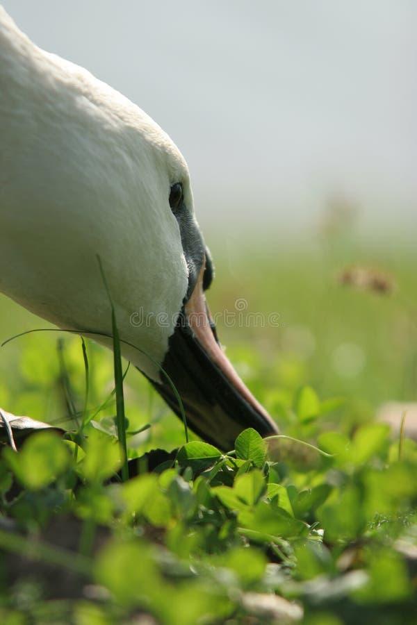 Hoofd dat van de zwaan - het eet royalty-vrije stock afbeelding
