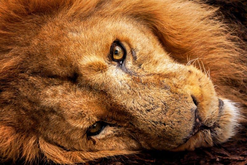Hoofd dichte omhooggaand van de leeuw stock foto