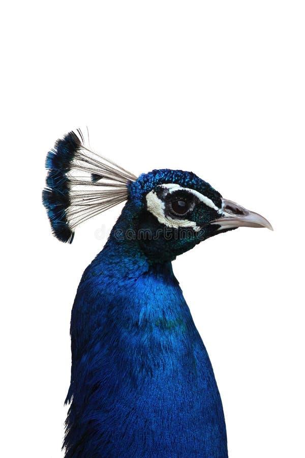 Hoofd Geïsoleerde Peafowl stock afbeelding
