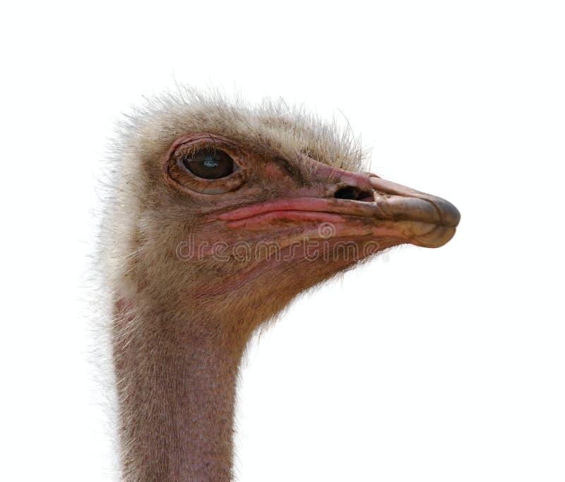 Hoofd geïsoleerden struisvogel, stock afbeelding
