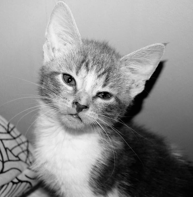 Hoofd geschoten portret van een supercute wit en grijs katje stock fotografie