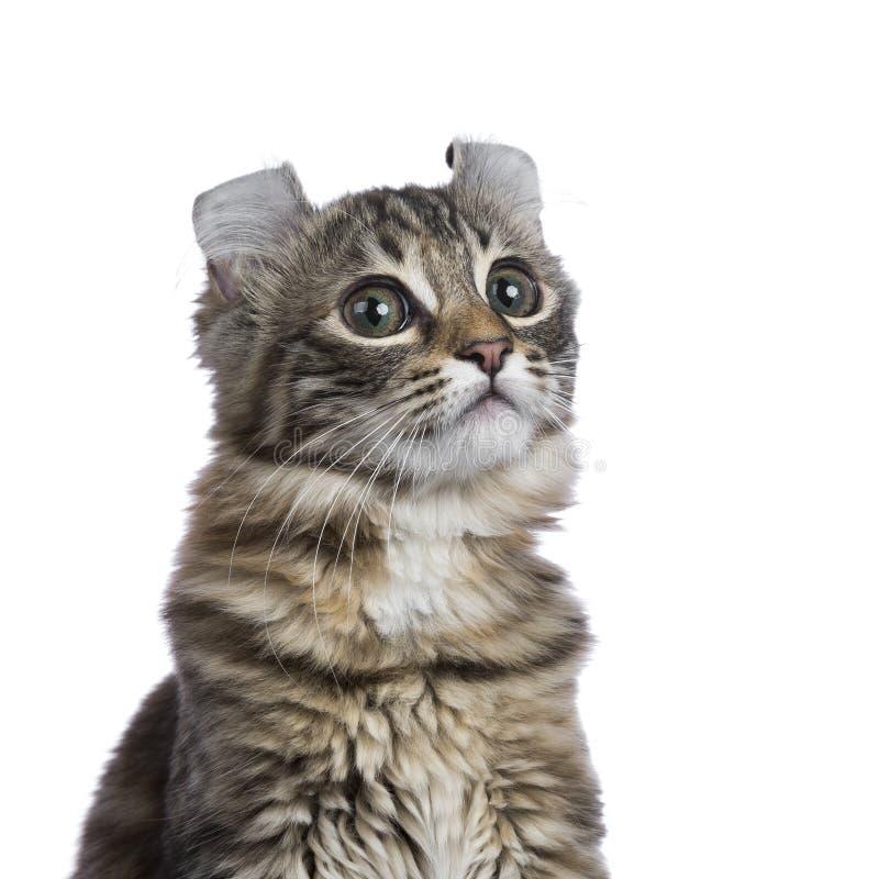 Hoofd van Amerikaanse de Krulkat die van de gebrek tortie gestreepte kat wordt geschoten royalty-vrije stock afbeelding