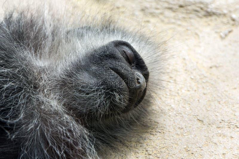 Hoofd van een aapslaap op de vloer royalty-vrije stock fotografie