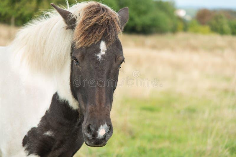 Hoofd van een bruin en wit paard op een gebied stock afbeeldingen