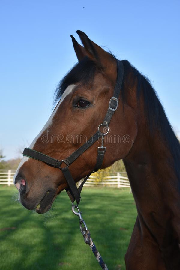 Hoofd van een bruin paard stock foto