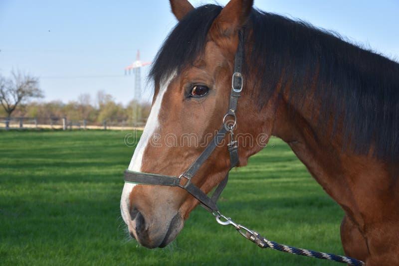 Hoofd van een bruin paard stock afbeeldingen