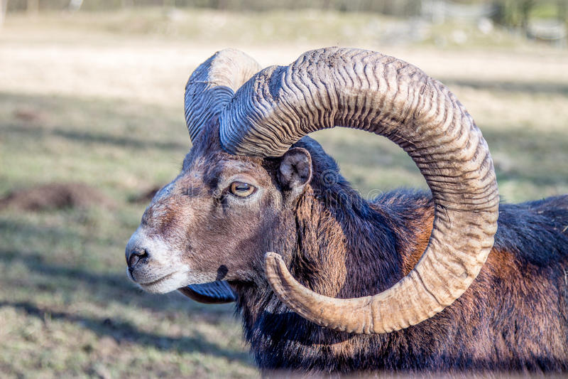 Hoofd van een Europese Mouflon royalty-vrije stock foto