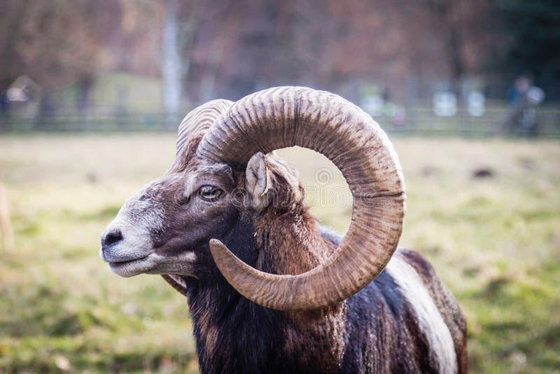 Hoofd van een Europese Mouflon stock afbeelding