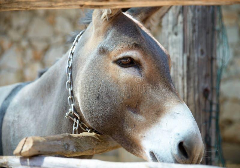Hoofd van een ezelsclose-up stock afbeeldingen