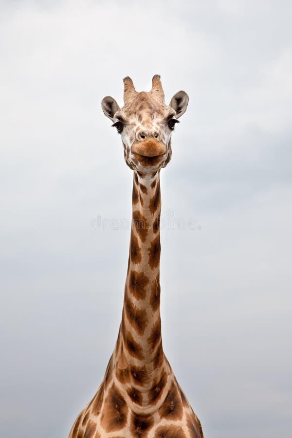 Hoofd van een Giraf in de wildernis stock afbeeldingen
