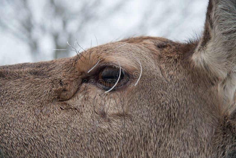 Hoofd van een hert in gevangenschap stock foto's