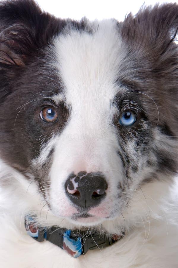 Hoofd van een hond van de grenscollie royalty-vrije stock foto
