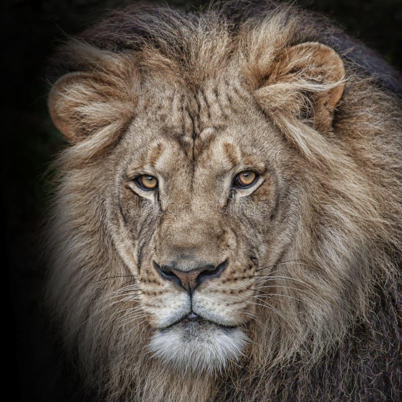 Hoofd van een mannelijke leeuw wordt geschoten die stock foto's