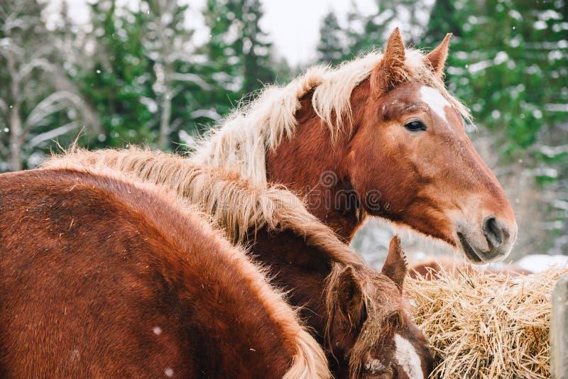Hoofd van een paard door het hooi stock afbeelding