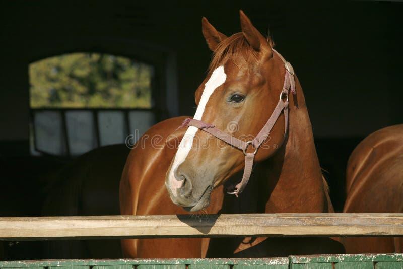 Hoofd van een rasecht paard wordt geschoten dat royalty-vrije stock fotografie
