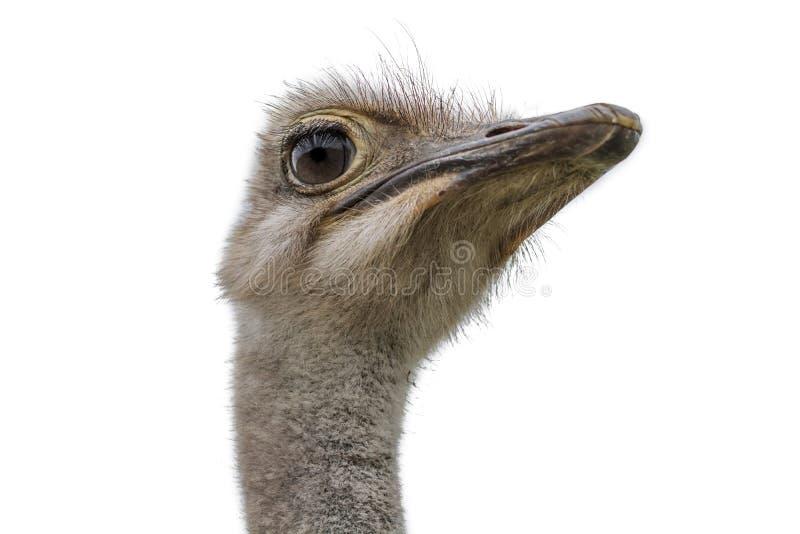 Hoofd van een struisvogel op wit wordt geïsoleerd dat stock foto