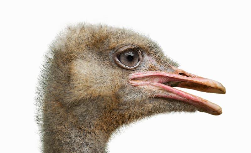 Hoofd van een struisvogel stock foto's