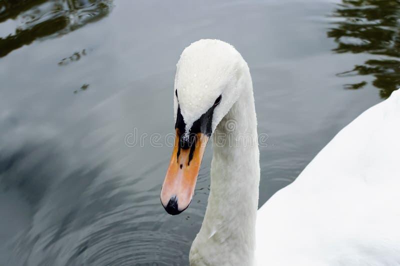 Hoofd van een witte zwaan in dalingen van water, close-up royalty-vrije stock fotografie
