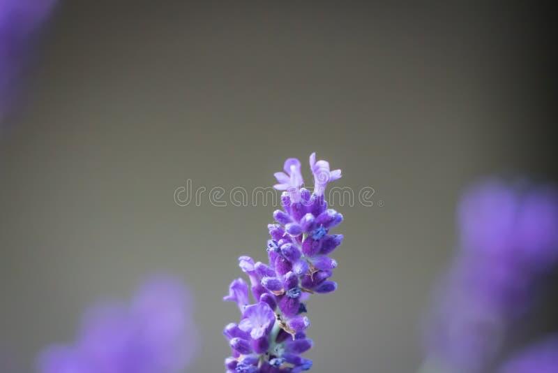 Hoofd van geïsoleerde lavendel stock afbeelding