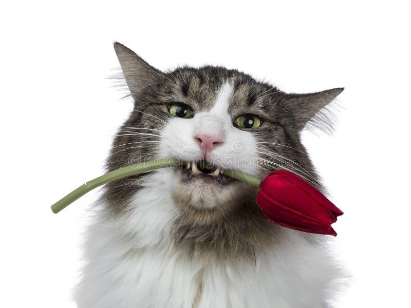 Hoofd van grappig en knap volwassen Noors die Forest Cat wordt, op een witte achtergrond wordt geïsoleerd geschoten die stock foto