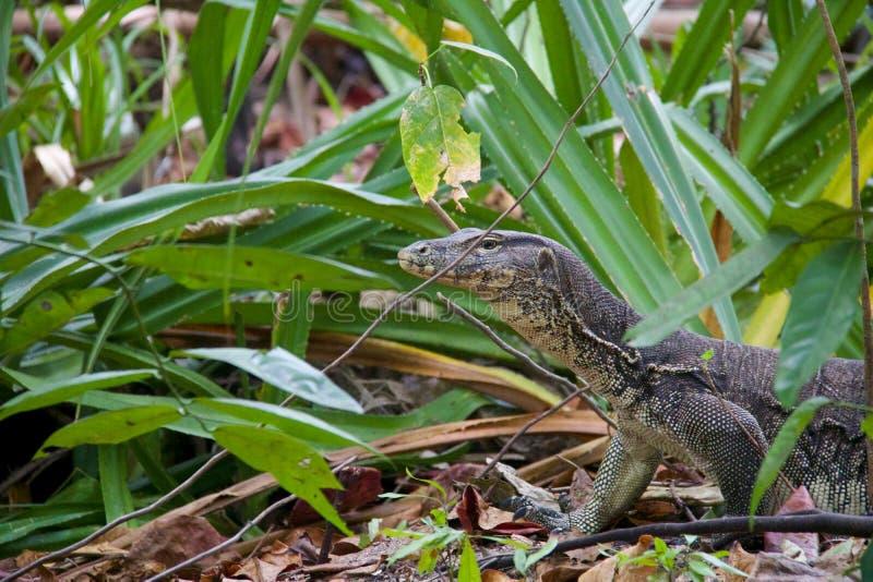 Hoofd van hagedis die in de wildernis in Sangalaki-eiland loopt royalty-vrije stock foto's