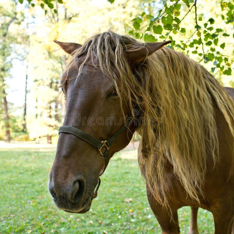 Hoofd van het paard stock afbeelding