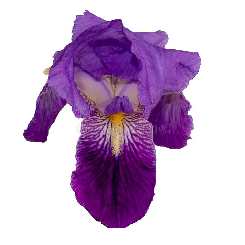 Hoofd van irisbloem op witte achtergrond stock foto's