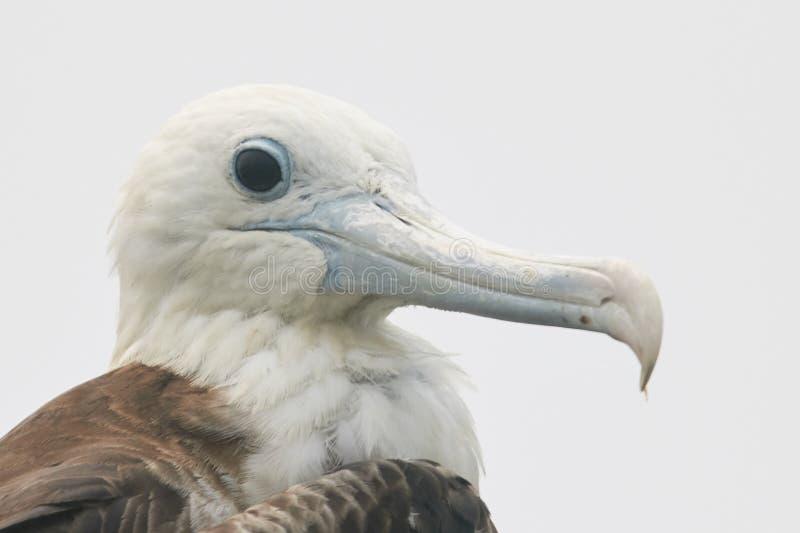 Hoofd van Jeugd Prachtige Frigatebird royalty-vrije stock foto's