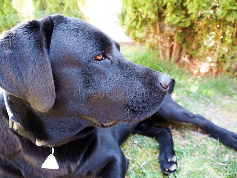Hoofd van jong zwart labrador retriever royalty-vrije stock afbeelding