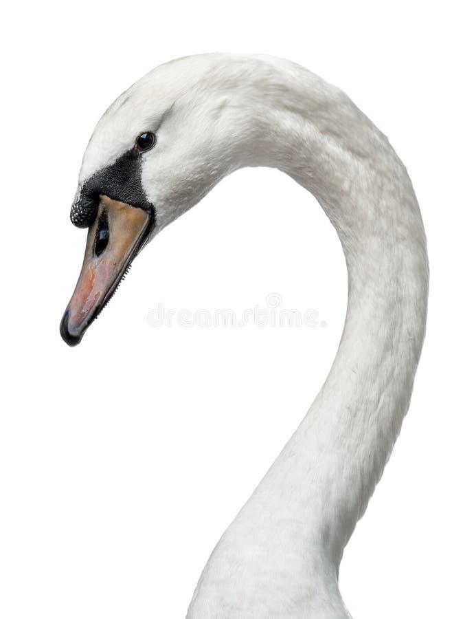 Hoofd van jonge witte zwaan op wit wordt geschoten dat royalty-vrije stock foto