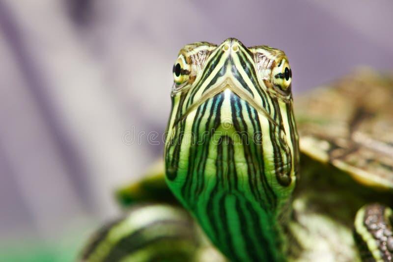 Hoofd van kleine rood-oorschildpad in terrarium royalty-vrije stock fotografie